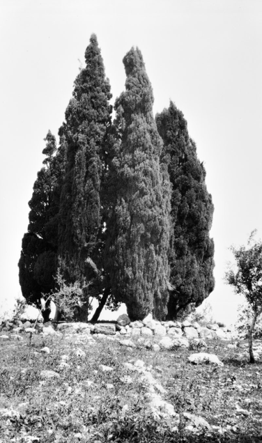 Cypress Trees by the Shrine of the Báb